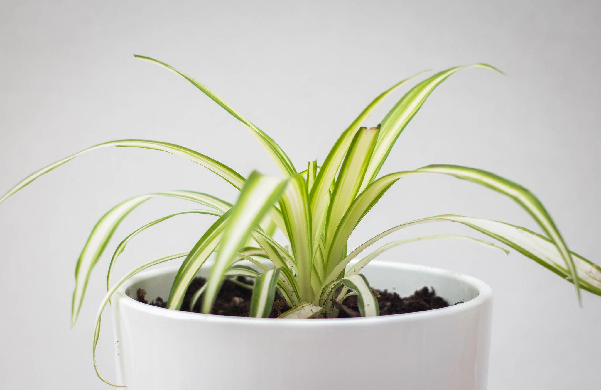 spider plant close