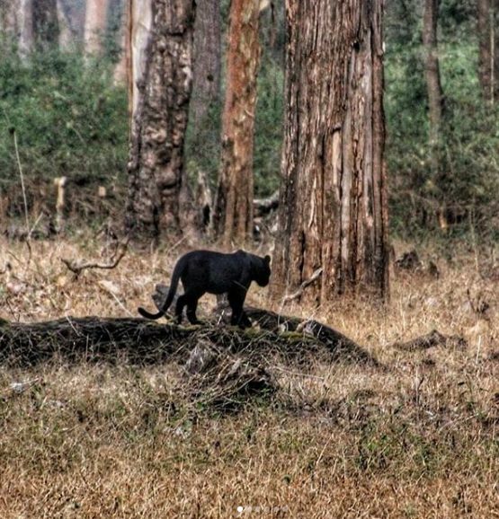 Black panther wildlife in india