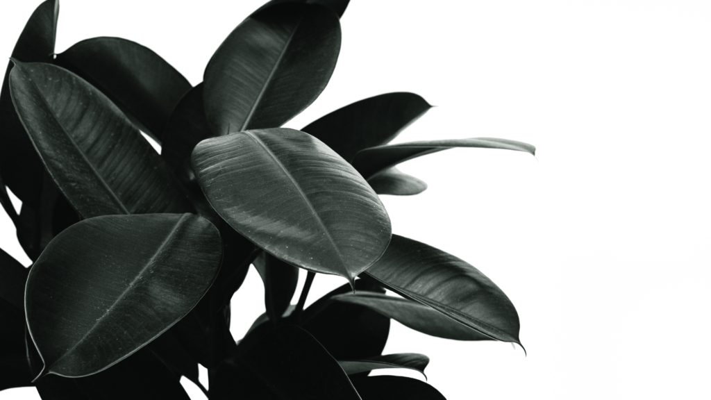 best indoor plants rubber plant