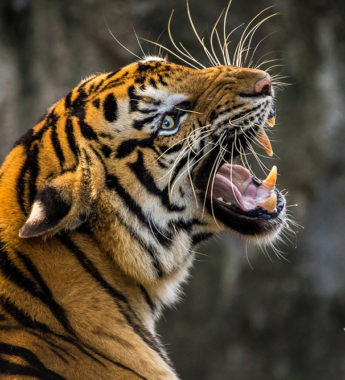 Tiger wildlife in india feature