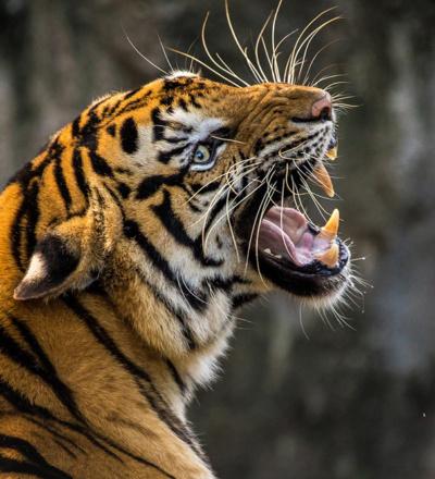 Tiger wildlife in india feature