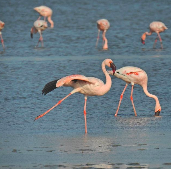 flamingoes Rann of Kutch wildlife