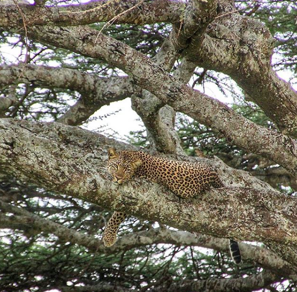 leopards wildlife in India