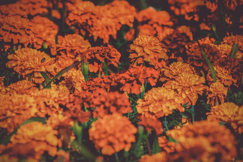 marigold indoor plant