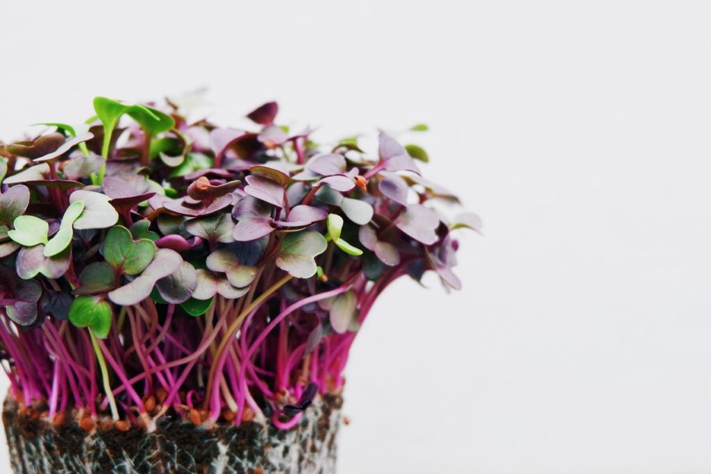 microgreens kitchen garden