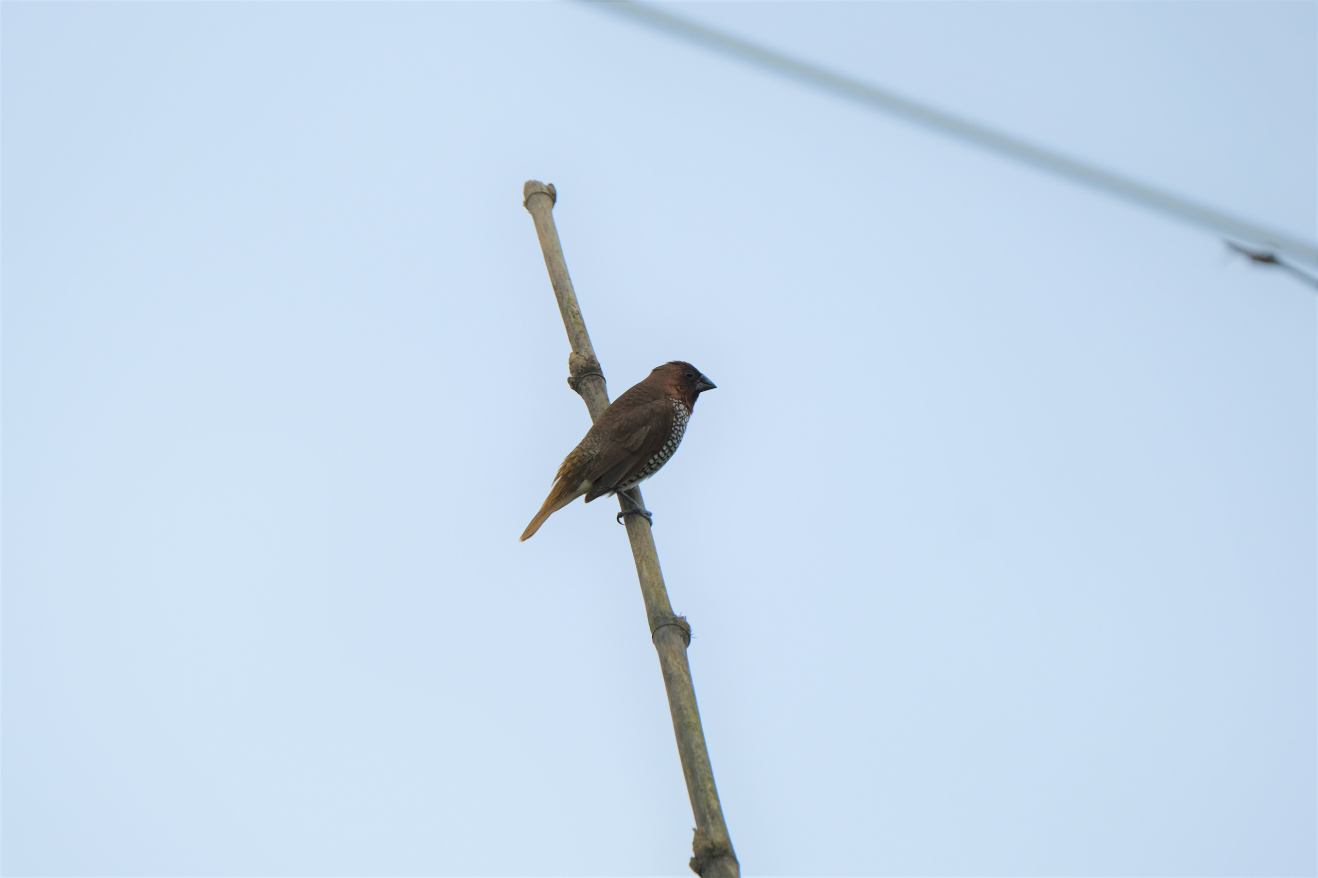 Scaly Breasted Munia