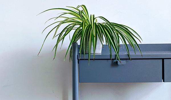 spider plant best indoor houseplants