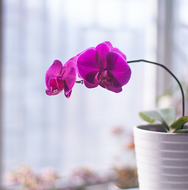 indoor orchid house plant